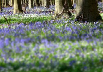 La forêt bleue de Braine-l'Alleud
